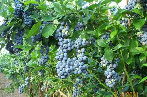 Blueberry_Bush