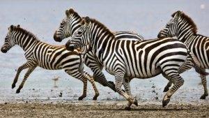 az_zebras