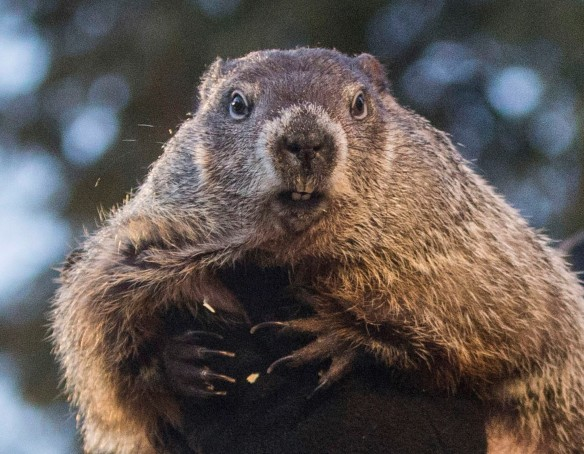 AP APTOPIX GROUNDHOG DAY A USA PA
