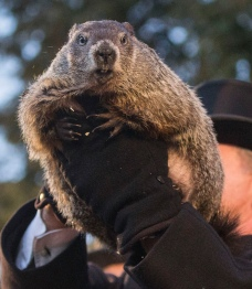 """Handler John Griffiths holds up Punxsutawney Phil during the annual celebration of Groundhog Day on Gobbler's Knob in Punxsutawney, Pa., Tuesday, Feb. 2, 2016.  The handlers say the furry rodent failed to see his shadow at dawn Tuesday, meaning he """"predicted"""" an early spring. (Mark Pynes /PennLive.com via AP) MANDATORY CREDIT  ORG XMIT: PAHAP103"""